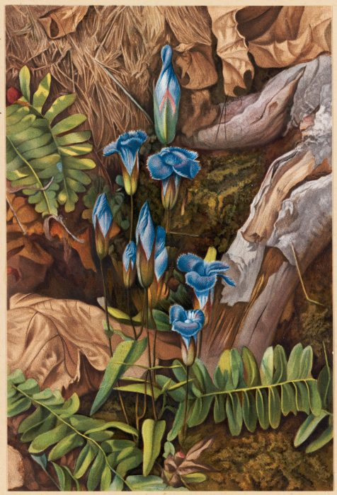 L. Prang & Co. after H. R. Newman. Fringed Gentian