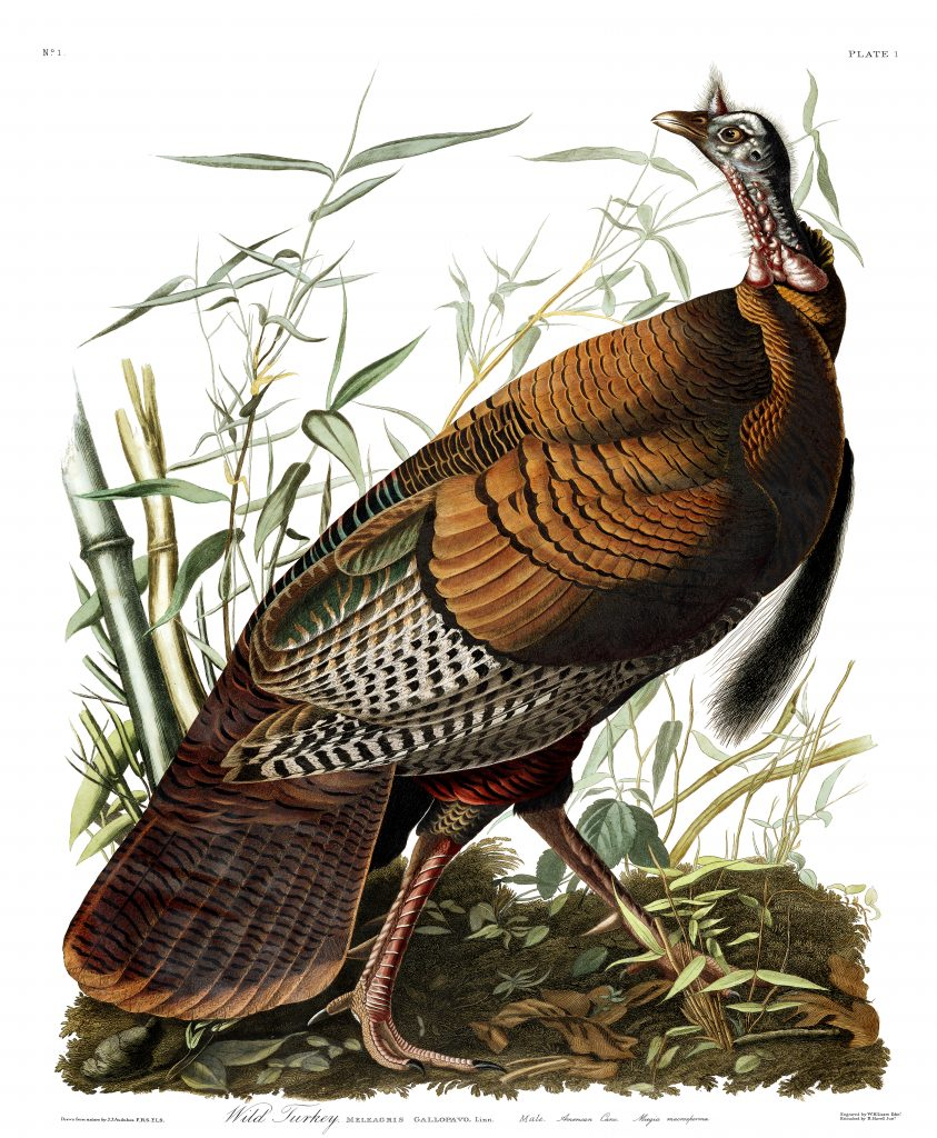 John James Audubon, Wild Turkey