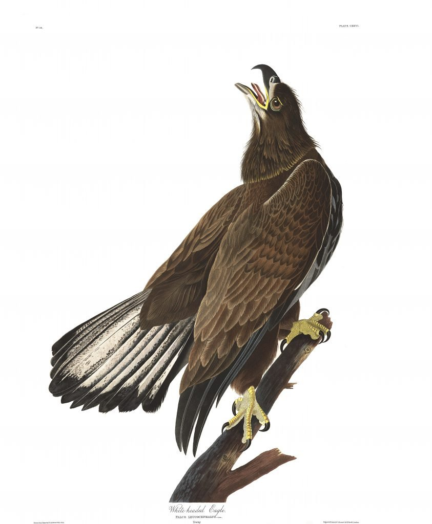 John James Audubon, White Headed Eagle