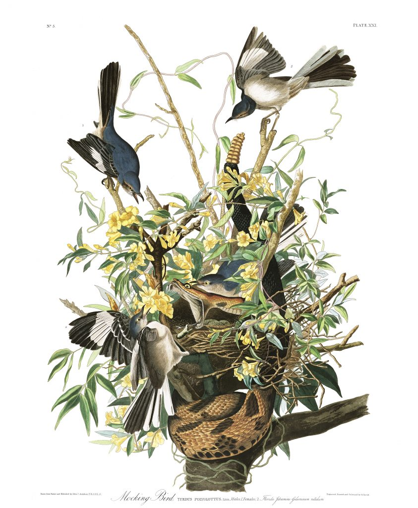 John James Audubon, Mocking Bird
