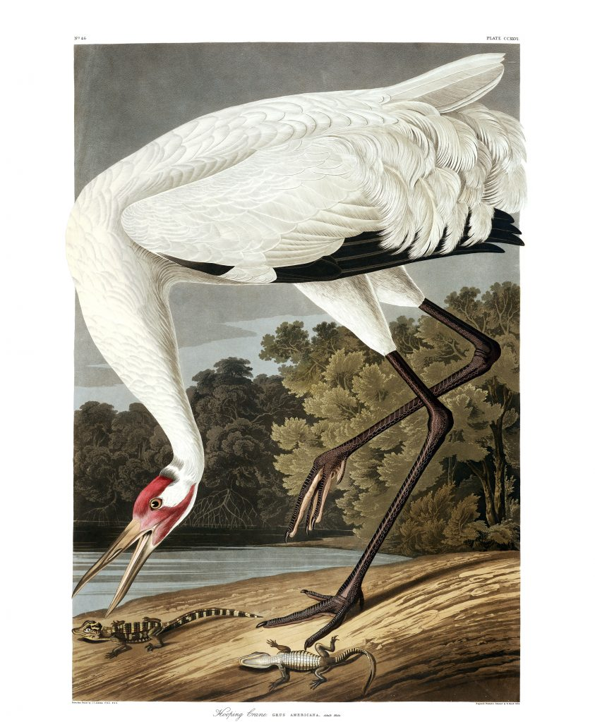 John James Audubon, Hooping Crane