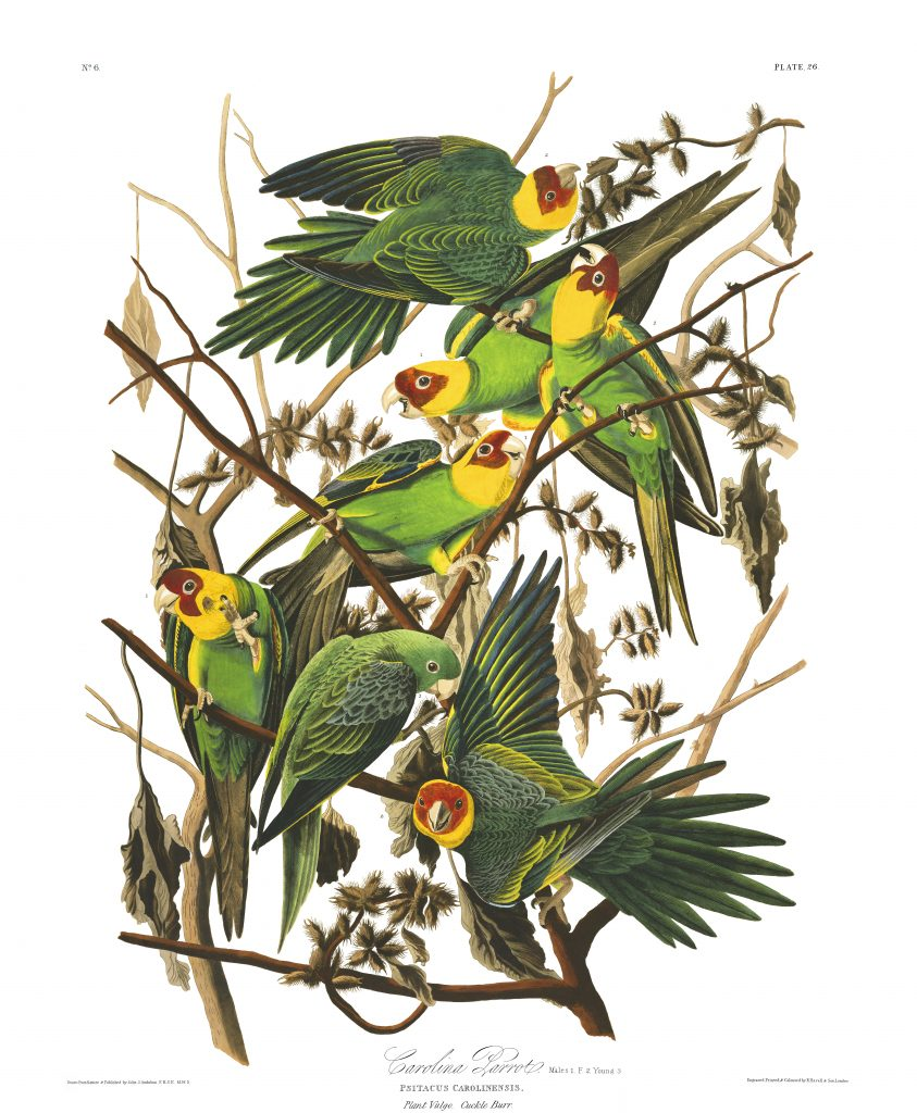 John James Audubon, Carolina Parrot