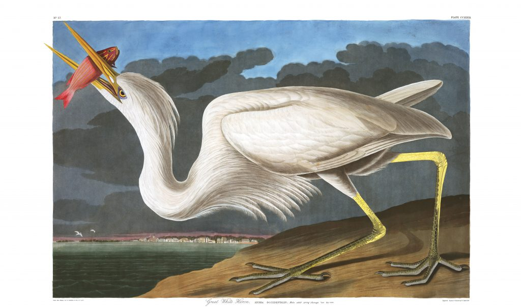 John James Audubon Great White Heron