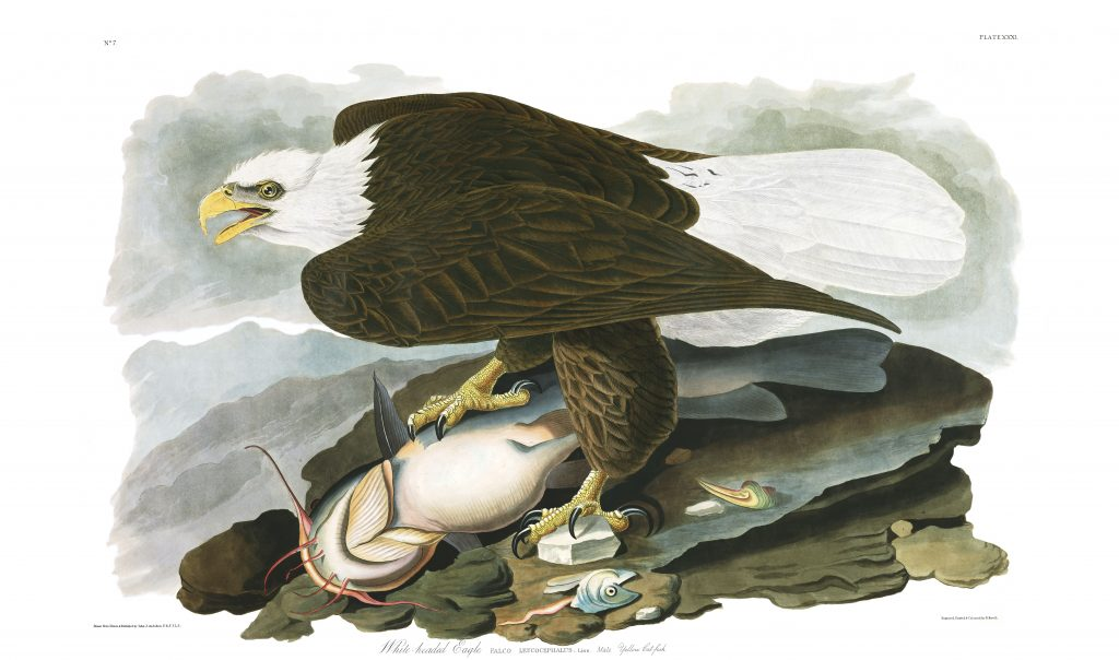 John James Audubon White Headed Eagle