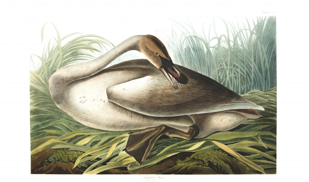 John James Audubon, Trumpeter Swan