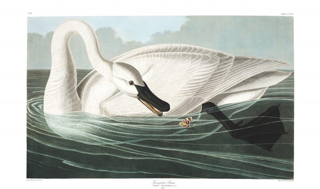 John James Audubon Trumpeter Swan