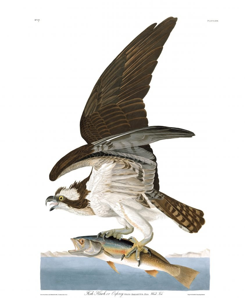John James Audubon Fish Hawk Osprey